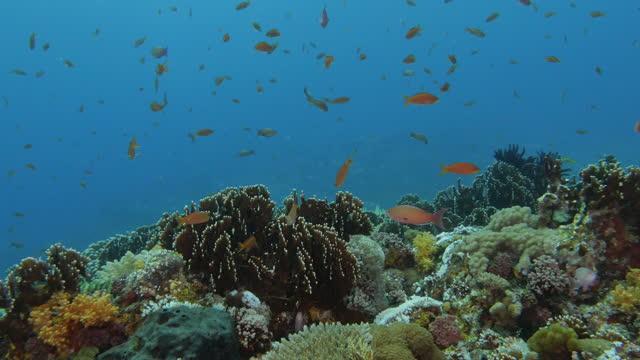 school of red anthias fish swimming at undersea coral reef - anthias fish stock videos & royalty-free footage