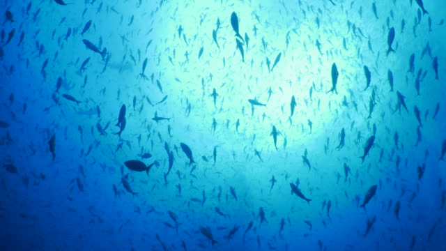 school of reef fish covered sky undersea, darwin island - sottomarino subacqueo video stock e b–roll