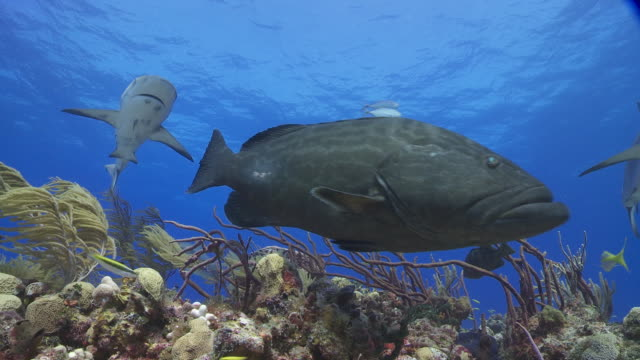 school of reef sharks and giant grouper over reef - grouper stock videos & royalty-free footage