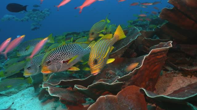 School of ribbon sweetlips (Plectorhinchus polytaenia) over coral reef in Raja Ampat