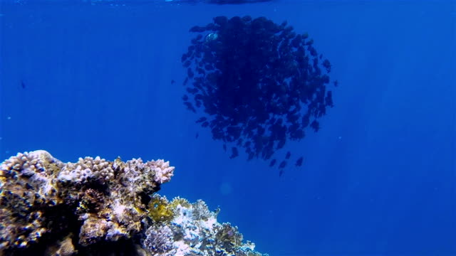 School of Sailfin tang surgeonfish on Red Sea