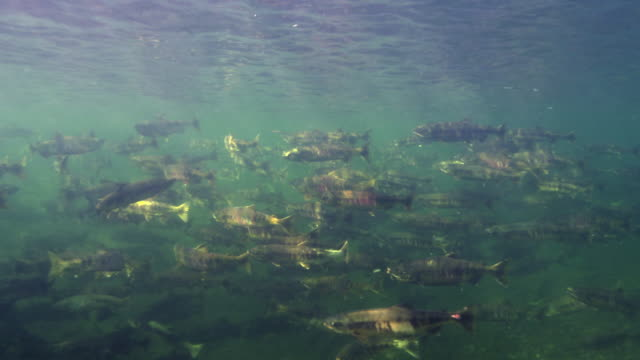school of salmons in river during spawning season in the dmz (demilitarized zone between south and north korea), goseong-gun - freshwater stock videos & royalty-free footage