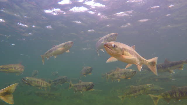 stockvideo's en b-roll-footage met school of salmons swimming in river (south korea) - staartjes