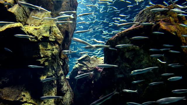 school of sardine in the sea - branco di pesci video stock e b–roll