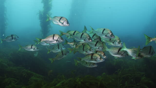 school of sargo fish in kelp forest - grunzer stock-videos und b-roll-filmmaterial