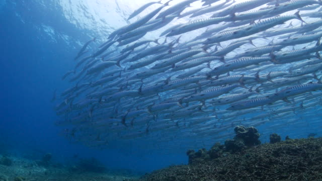 School of sawtooth barracuda