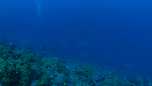 school of scalloped hammerhead shark encounter at deep reef - galapagos shark stock videos & royalty-free footage