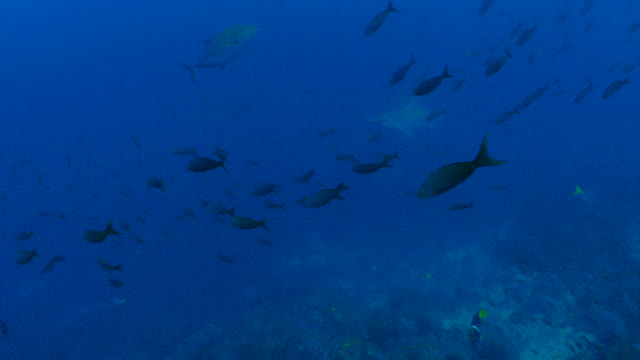 School of Scalloped Hammerhead shark, Pacific Creole fish swimming at deep sea reef
