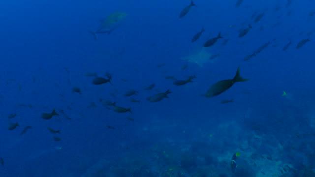school of scalloped hammerhead shark, pacific creole fish swimming at deep sea reef - galapagos shark stock videos & royalty-free footage