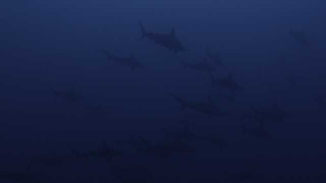 vidéos et rushes de school of scalloped hammerhead sharks (sphyrna lewini) swim through ocean. japan - chasser