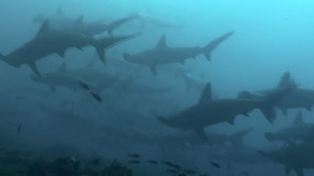 School of scalloped hammerhead sharks swimming over the coral reef, Darwin Island, Galapagos Islands, Ecuador.