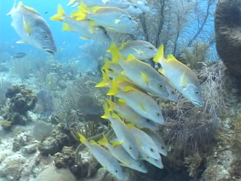 school of schoolmaster snapper fish hiding from current by soft coral - soft coral stock videos & royalty-free footage