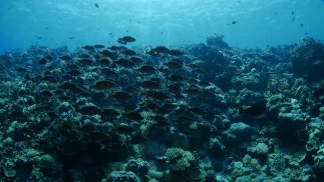 vídeos y material grabado en eventos de stock de escuela de peces besugo en arrecife submarino - deep sea diving