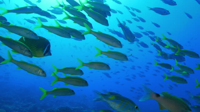 school of sea bream fish on the reef undersea - sottomarino subacqueo video stock e b–roll