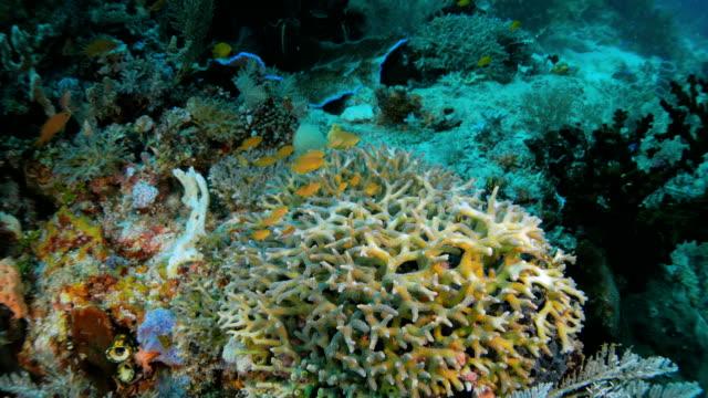 School of Sea goldie fish hiding in hard coral reef