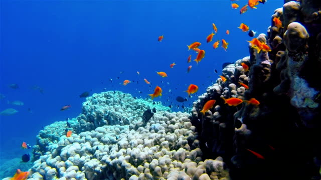 School of Sea goldie fish on coral reef - Red Sea