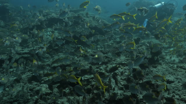 school of seabream fish and goatfish at coral reef, japan - goatfish stock videos & royalty-free footage