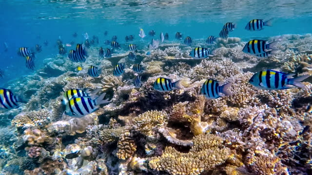school of sergeant major on coral reef on maldives - reef stock videos & royalty-free footage