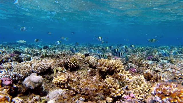 School of Sergeant major on coral reef - Red Sea