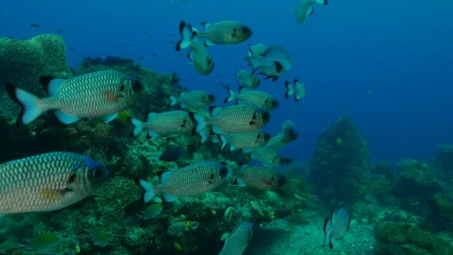 リーフの shadowfin soldierfish の学校 - イットウダイ点の映像素材/bロール