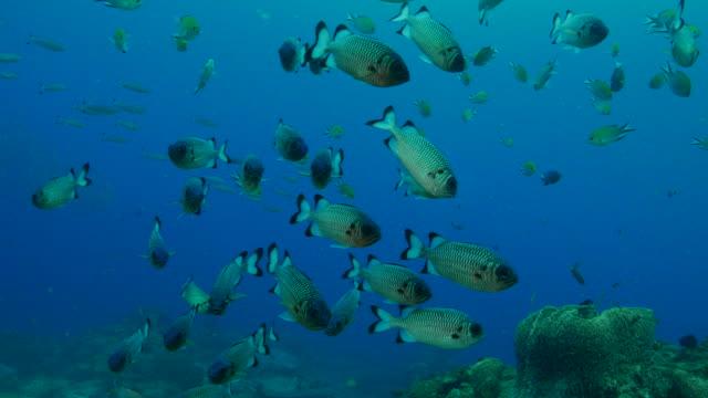 学校の shadowfin soldierfish - イットウダイ点の映像素材/bロール