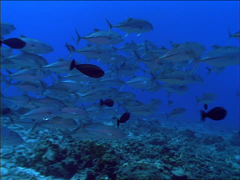 school of silver fish swimming over coral / french polynesia - tropical fish stock videos & royalty-free footage