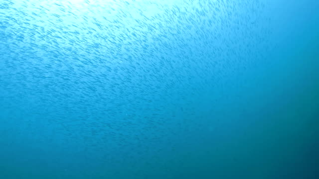 School of Slender Silverside fish cover all the sea surface