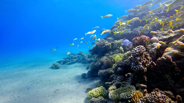 vídeos de stock e filmes b-roll de school of snapper on beautiful coral reef - red sea - lutjanídeo