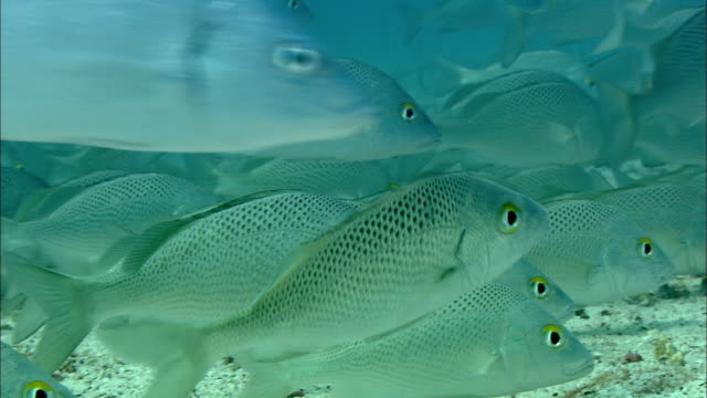 A school of snappers moves along the seabed. Available in HD.