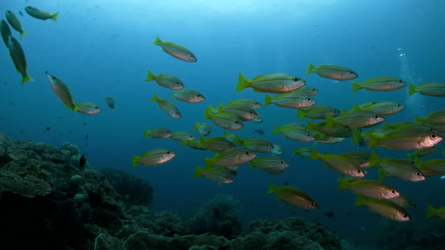 vidéos et rushes de snappers école de la piscine autour de plongée sous-marine - petit groupe d'animaux