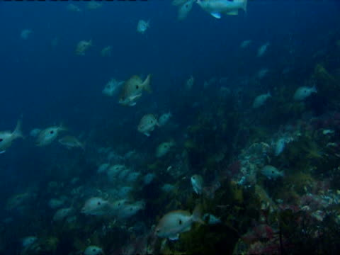 A school of snappers swims over a coral reef.