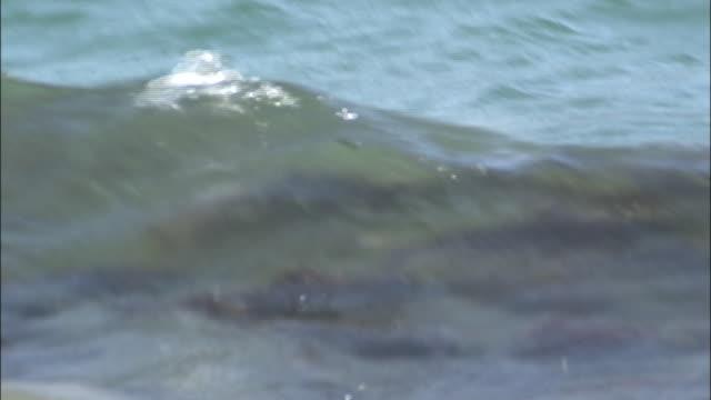 vídeos y material grabado en eventos de stock de school of sockeye salmon swimming in the water - medium group of animals