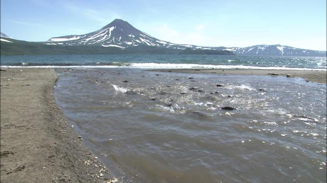 vídeos y material grabado en eventos de stock de school of sockeye salmon - medium group of animals