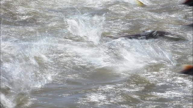 vidéos et rushes de school of sockeye salmon - torrent