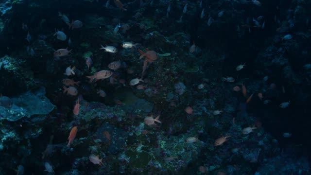 School of soldierfish in undersea reef