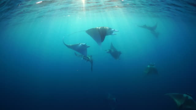 school of spinetail devil rays, mobula japanica, swimming in the late afternoon sunlight, sea of cortes, baja california, mexico. - cabo san lucas stock videos & royalty-free footage