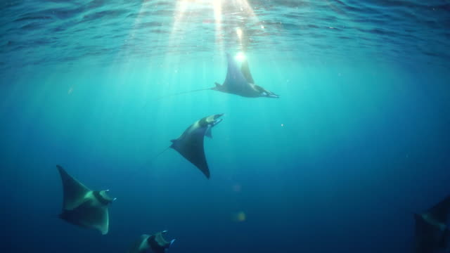 school of spinetail devil rays, mobula japanica, swimming in the late afternoon sunlight, sea of cortes, baja california, mexico. - cabo san lucas stock videos and b-roll footage