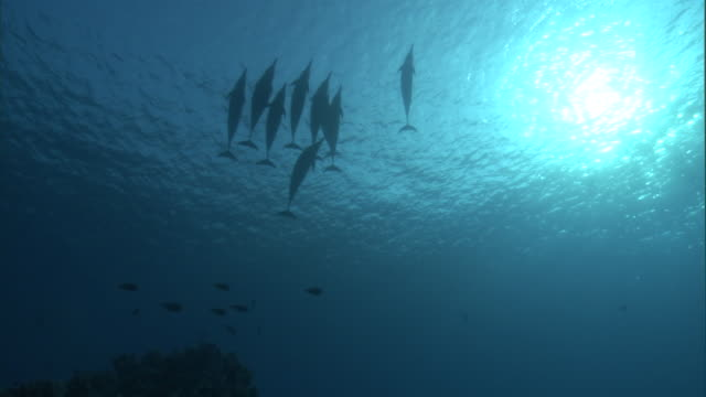 school of spinner dolphins (stenella longirostris), hawaii - dolphin stock videos & royalty-free footage