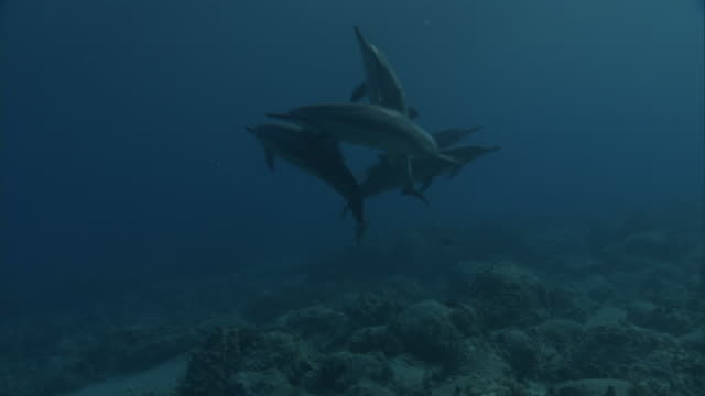 school of spinner dolphins (stenella longirostris), hawaii - spinner dolphin stock videos & royalty-free footage