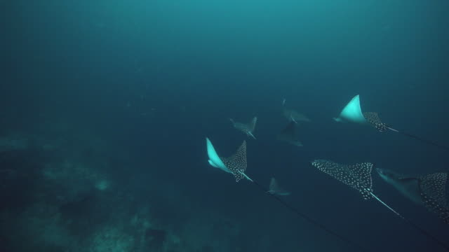 a school of spotted eagle rays cruise by the reef, flores indonesia - eagle ray stock videos and b-roll footage