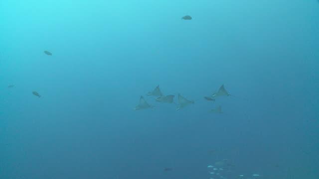 school of spotted eagle rays swimming, vaavu atoll, the maldives - トビエイ点の映像素材/bロール