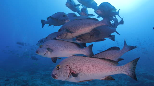 school of spotted sweetlips fish in the reef - tropical fish stock videos & royalty-free footage