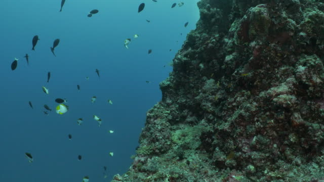 school of surgeonfish and butterflyfish swimming at undersea reef, taiwan - philippine sea stock videos & royalty-free footage