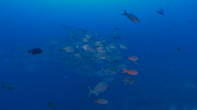 school of trevally fish at coral reef - large group of animals stock videos and b-roll footage