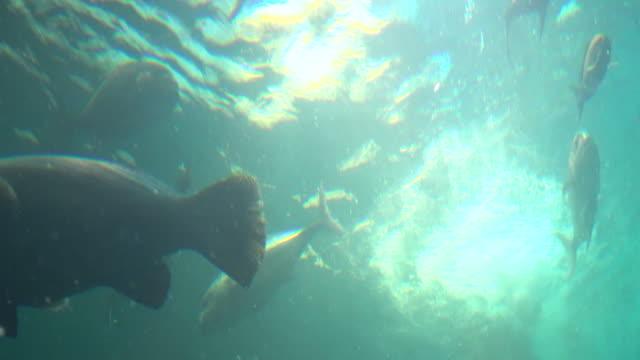 schule von makrelen fische von unten gefilmt - tierisches verhalten stock-videos und b-roll-filmmaterial