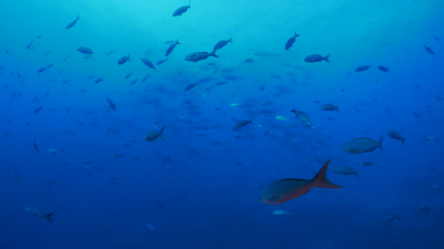 School of Trevally Jack and Pacific Creole fish at deep sea reef