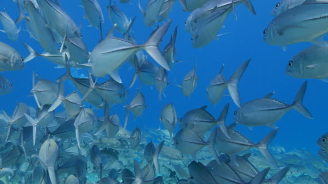 school of trevally jack fish are close to camera - jack fish stock videos and b-roll footage
