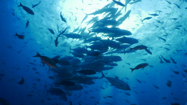 school of trevally jack fish below sea surface - large group of animals stock videos & royalty-free footage