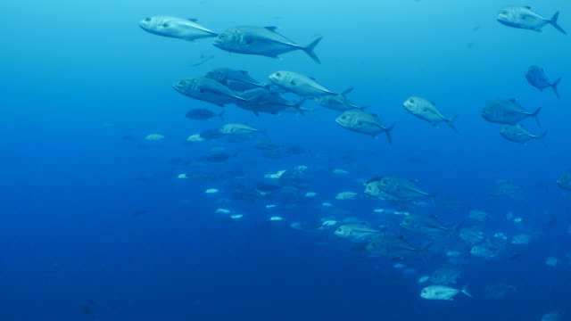 School of Trevally Jack fish swimming close to camera