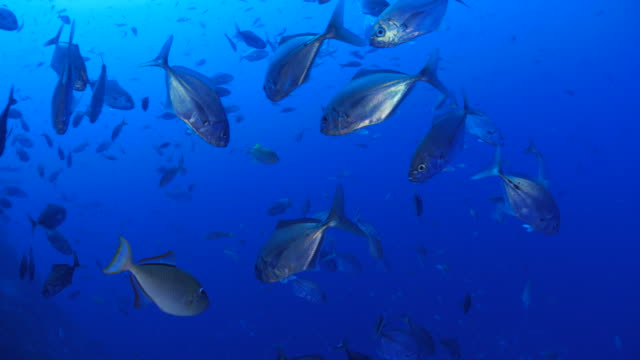 School of Trevally Jack fish swimming